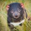 Australia, U.S. Collaborate to Restore Wild Tasmanian Devils