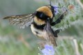 Extinction Threatens One-Quarter of Europe's Bumblebees