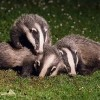 British Plan to Eradicate Bovine TB Backs Off Badger Cull
