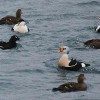 Birds, Animals Pass Flu Viruses Across the Oceans