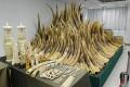 Hong Kong Starts Burning Huge Stockpile of Seized Ivory