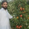 Orchards Go to Ruin in Afghanistan's Khost Province