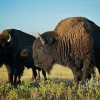 Buffalo Restoration Treaty Signed by Tribes, First Nations