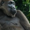 Cameroon Creates a Sanctuary for World's Rarest Ape