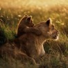 African Lion 'Threatened' Listing Proposed Under U.S. Law