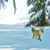 Rare Sierra Nevada Red Fox Seen in Yosemite National Park