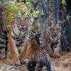India's Wild Tiger Population Grows by 30 Percent