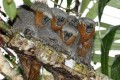 Newly Found Brazilian Rainforest Monkey Already at Risk