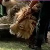 Australia Bans Lion Hunting Trophy Imports