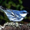 Colombia Plants Trees to Rescue Bright Blue Warbler