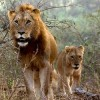 South Africa Releases First Lion Management Plan