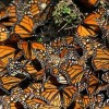 Insecticide Blamed for Monarch Butterfly Decline