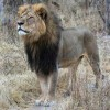 Airlines Ban Wildlife Trophy Cargo After Lion's Death