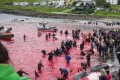 Sea Shepherd Wages War on Faroe Islands Whale-Killers