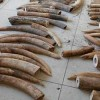 Interpol Busts Hundreds for Ivory, Rhino Horn Crimes