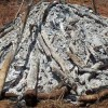 Malawi Torches Tonnes of Contraband Ivory