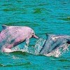 Taiwan's Endangered Pink Dolphins Attract U.S. Allies