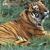 U.S. Tightens Rules for Captive Tiger Trade