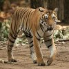 Wild Tiger Numbers Up: First Time in 100 Years