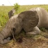 29 African Nations Urge EU to Halt Elephant Slaughter