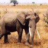 New Census: 30% of Africa's Savanna Elephants Dead