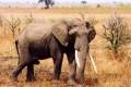 New Census: 30% of Africa's Savanna Elephants Dead