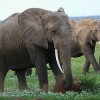 Legal Ivory Trade Rejected in Heated Debate