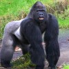 IUCN: All Gorilla Species Now Critically Endangered