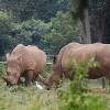 Conservation 3.0: Will Bioengineered Horn Save Rhinos?