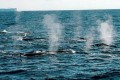 Japan's Whaling in Defiance of World Court Stirs Anger