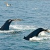 Atlantic Whale Sanctuary Rejected, Japan Continues Whaling