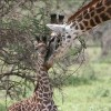 Giraffes Now Listed as 'Vulnerable' to Extinction