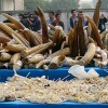 China Bans Ivory Trade to Foil Elephant Poachers