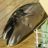 Japan Caught with Dead Whale in Australian Sanctuary