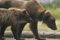 Trump Authorizes Inhumane Killing of Alaska Predators