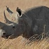 South African Court Allows Domestic Rhino Horn Trade