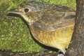 Venezuelan Bird Feared Extinct for 60 Years Found