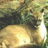 Cougars Extinct in Eastern USA, Lynx Could Be Next