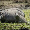 Zambia Authorizes Killing Thousands of Hippos