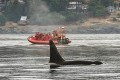 Inslee Budgets a Billion for Washington's Orcas, Salmon