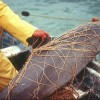 Extinction Looms for World's Smallest Porpoise