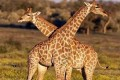 Governments Protect Giraffes at CITES Meeting