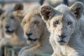 South Africa Reclassifies 33 Wild Species as Farm Animals