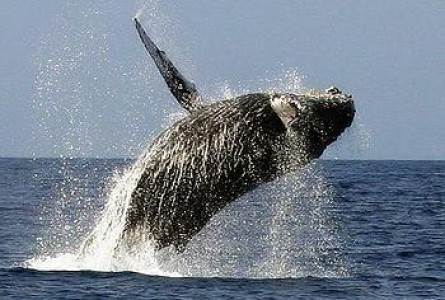 Protecting Whales Can Help Avert Climate Change