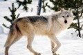 Trump Pushes Gray Wolf off Endangered Species List