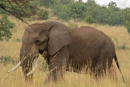 African Elephants Classed as Two Species, Both Endangered