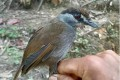 Borneo Rainforest Shelters Bird Lost 172 Years Ago