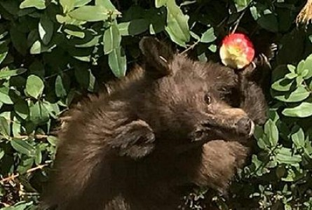Young California Bears Fall Ill With Inflamed Brains