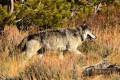 Conservationists Howl as Feds Drop Wyoming Wolves From Endangered List
