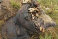 Poachers Slaughter Thousands of Central Africa's Elephants